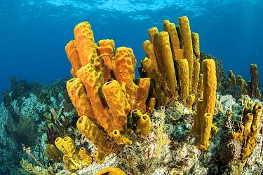 Yellow tube sponge (Aplysina fistularis) Dominica, Caribbean Sea, Atlantic Ocean