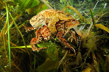 Common toads (Bufo bufo), in amplexus (mating) in a pond, with spawn, Surrey, England, UK. March.