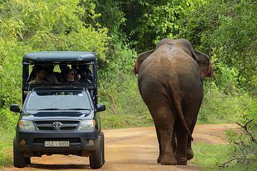Sri Lankan elephant (Elephas maximus maximus) walking past tourist jeep with tourists, Yala National Park, Southern Province, Sri Lanka