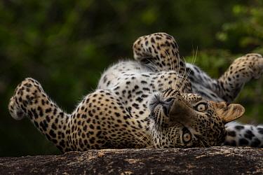 Sri Lankan leopard (Panthera pardus kotiya) rolling on its back, Yala National Park, Sri Lanka