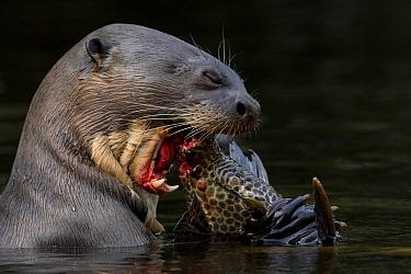 Giant river otter (Pteronura brasiliensis) eating a catfish. Yasuni National Park, Orellana, Ecuador