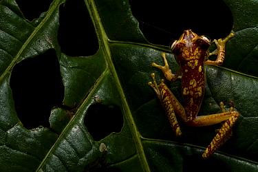 Gold-nugget treefrog (Boana picturata) Mashpi, Pichincha, Ecuador