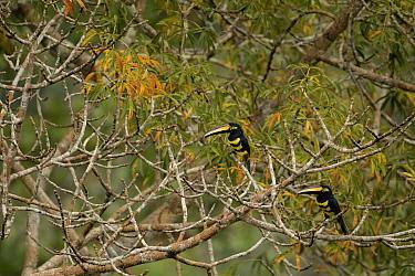 Many-banded aracari (Pteroglossus pluricinctus) Yasuni National Park, Orellana, Ecuador