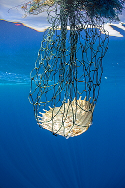 Carapace of a dead olive Ridley turtle (Lepidochelys olivacea) entangled in discarded fishing gear. Indian Ocean, off Sri Lanka.