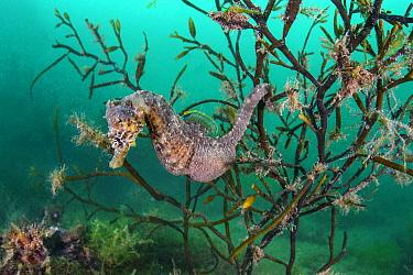 Portrait of a male short snouted seahorse (Hippocampus hippocampus) in sea oak seaweed (Halidrys siliquosa). Devon, England, United Kingdom. British Isles. English Channel. North East Atlantic Ocean.