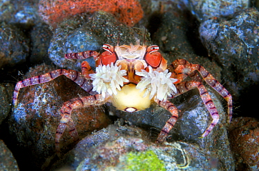 Close up of a tiny Boxer crab (Lybia tessellata) as it waves the stinging anemones it holds in its claws for defence. Tulamben, Bali, Indonesia. Java Sea.