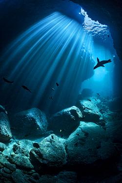 Silhouette of a California sea lion (Zalophus californianus) swimming through an underwater cave. Los Islotes, La Paz, Baja California Sur, Mexico. Sea of Cortez, Gulf of California, East Pacific Ocea...