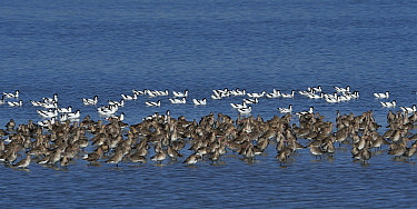 Pied avocet (Recurvirostra avocetta) and Black tailed godwit (Limos limosa) during migration, Le Teich, Gironde, France, February