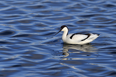 Pied avocets (Recurvirostra avocetta) foraging in water, Le Teich, Gironde, France, January.