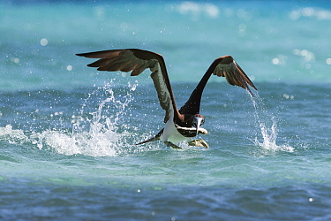 Brown booby (Sula leucogaster) taking off from the ocean surface after catching a sardine, with the fish still struggling in the bird's beak. Vava'u, Tonga, South Pacific Ocean.