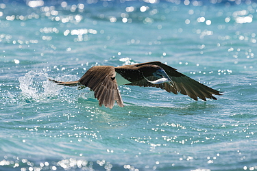 Brown booby (Sula leucogaster) taking off from the ocean surface after catching a sardine., with the fish still struggling in the bird's beak. Vava'u, Tonga, South Pacific Ocean.