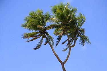 Coconut tree (Cocos nucifera) with three crowns, Tongatapu Island, Kingdom of Tonga