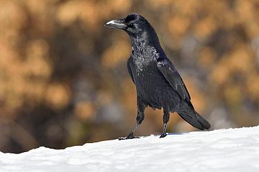 Northern raven (Corvus corax) in snow, Leon, Spain, February.