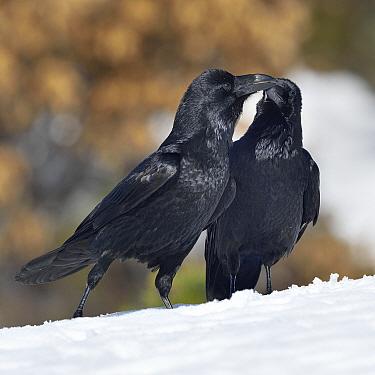 Northern ravens (Corvus corax) interacting in snow, Leon, Spain, February.
