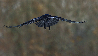 Northern raven (Corvus corax) in flight, Leon, Spain, February.