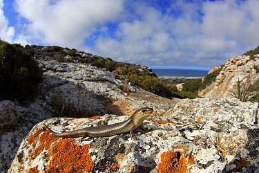 Nullarbor slender blue-tongue (Cyclodomorphus siticulosus) basking, Border Village, South Australia.