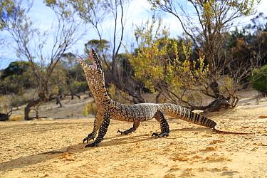 Heath Monitor (Varanus rosenbergi) male enacting a threat display, in mallee/heath habitat near Pinnaroo, South Australia.