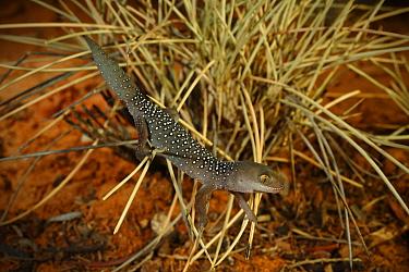Jewelled gecko (Strophurus elderi) from mallee/spinifex habitat near Coombah Roadhouse, New South Wales, Australia, summer.