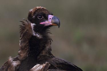 Young Black or Cinereous vulture (Aegypius monachus) Gredos Mountains, Castilla La Mancha, Spain