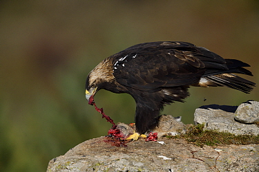 Iberian or Spanish imperial eagle (Aquila adalberti) eating a rabbit put out for it at a wildlife watching hide near El Barraco, Gredos Mountains, Avila, Spain.