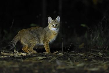 Jungle cat (Felis chaus) at night, Kanha National Park and Tiger Reserve, Madhya Pradesh, India