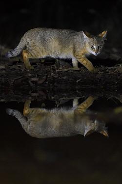 Jungle cat (Felis chaus) at night, Kanha National Park and Tiger Reserve, Madhya Pradesh, India.