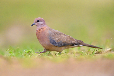 Laughing dove (Spilopelia senegalensis) in Keoladeo Ghana National Park, Bharatpur, Rajasthan, India