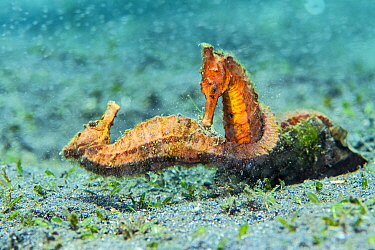 Two female Common seahorses (Hippocampus kuda) fighting over territory on the seabed. The brief fight was preceeded by a ritualised, synchronised parade. Bitung, North Sulawesi, Indonesia. Lembeh Stra...