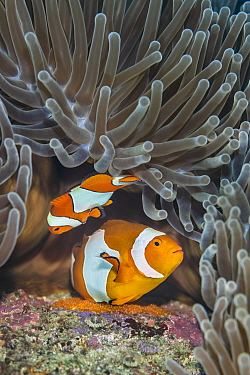 Pair of Western clown anemonefish (Amphiprion ocellaris) spawning orange eggs on the rock beneath their Magnificent sea anemone (Heteractis magnifica) home on a coral reef. This photo shows the larger...