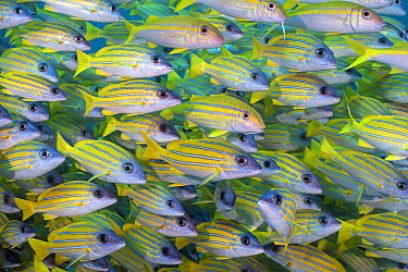 Several mimic goatfish (Mulliodichthys mimicus) hide within a school of Bluestripe snapper (Lutjanus kasmira) on a coral reef. North Ari Atoll, Maldives. Indian Ocean