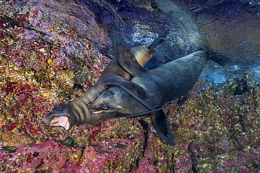 Pair of California sea lion (Zalophus californianus) pups playing in shallow water. Los Islotes, La Paz, Baja California Sur, Mexico. Sea of Cortez, Gulf of California, East Pacific Ocean.