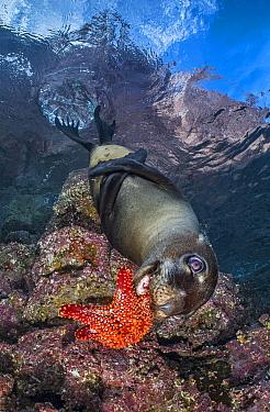California sea lion pup (Zalophus californianus) practicings its hunting skills by playing chase with a falling sea star (Panamic cushion star: Pentacerster cumingi). Los Islotes, La Paz, Baja Califor...