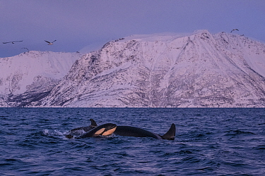 Killer whale / Orca (Orcinus orca) newborn breaching to breath at the surface in an Arctic fjord in Spildra, northern Norway. This baby was so young that it could not yet breathe properly with its blo...