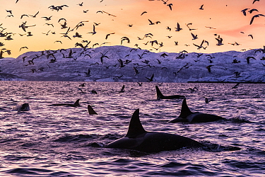 Killer whales (Orcinus orca) at the surface in an Arctic fjord in Spildra, northern Norway, with sea birds. Arctic Ocean