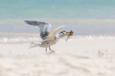 Greater crested tern (Thalasseus bergii) feeding on Sardine, Tonga.