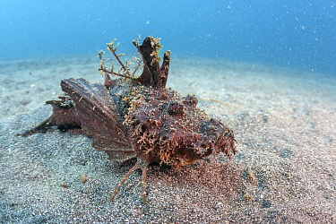 Demon stinger (Inimicus didactylus) sitting on the sand with venomous spines on full display. Lembeh Strait, North Sulawesi.
