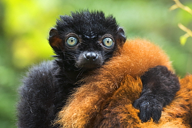 Blue-eyed / Sclater's black lemur (Eulemur flavifrons) male with arm on female's back, captive, endemic to Madagascar., Critically Endangered.
