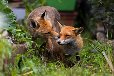 Red fox (Vulpes vulpes) dog interacting with a vixen in an urban garden. North London, UK. June.
