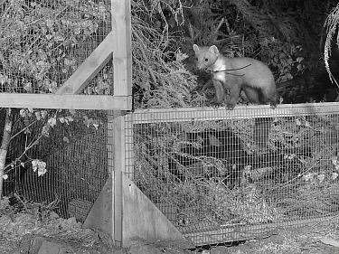 Radio-collared Male Pine Marten (Martes martes) emerging from a temporary soft release cage after dark during the Forest of Dean and River Wye Pine Marten Project, the Forest of Dean, Gloucestershire,...