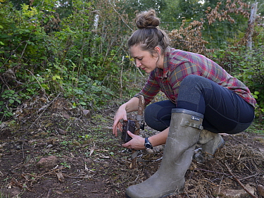 Cat McNicol, Project manager of the Forest of Dean and River Wye Pine Marten project, setting a trailcam to record a Pine marten (Martes martes) leaving a temporary soft release enclosure, the Forest...