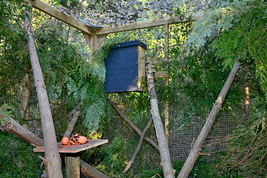 Den box and feeding table in a temporary soft release enclosure for a Pine marten (Martes martes) provided by the Forest of Dean and River Wye Pine Marten Project, the Forest of Dean, Gloucestershire,...