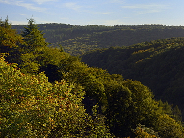 Forest of Dean overview, with primarliy deciduous trees, close to sites for Pine Marten (Martes martes) releases by the Forest of Dean and River Wye Pine Marten Project, Gloucestershire, UK, September...