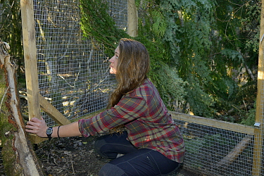 Cat McNicol, Project manager of the Forest of Dean and River Wye Pine Marten Project, propping open the door of a temporary soft release enclosure to allow a Pine marten (Martes martes) to leave when...