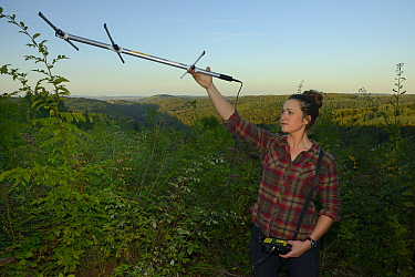 Cat McNicol, Project manager of the Forest of Dean and River Wye Pine Marten Project, radiotracking a recently released Pine marten (Martes martes) at dusk, the Forest of Dean, Gloucestershire, UK, Se...