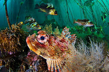 Red Irish lord (Hemilepidotus hemilepidotus) hides on the seabed, with Quillback rockfish (Sebastes maliger) and copper rockfish (Sebastes caurinus) behind in the bull kelp forest. Browning Pass, Vanc...