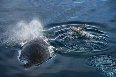 Humpback whale (Megaptera novaeangliae), adult and baby at surface, Antarctic Peninsula, Antarctica.