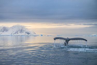 Humpback whale (Megaptera novaeangliae) fluke Antarctic Peninsula, Antarctica.
