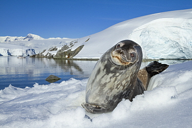 Weddell seal (Leptonychotes weddellii) hauled out on ice, Antarctic Peninsula, Antarctica.