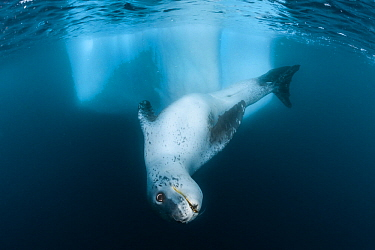 Leopard seal (Hydrurga leptonyx) swimming, Antarctic Peninsula, Antarctica.