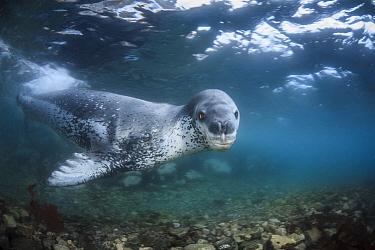 Leopard seal (Hydrurga leptonyx) swimming underwater, Antarctic Peninsula, Antarctica.